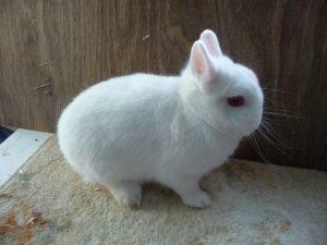 Conejo Polaco