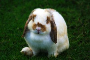 Holland Lop Eared Rabbits