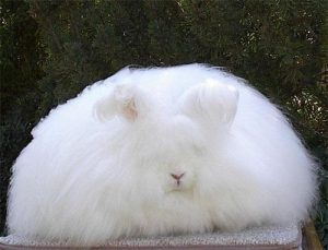 conejo-angora