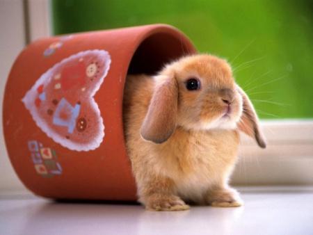 raza-de-conejos-con-orejas-caidas
