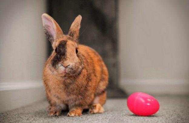 conejo-arlequin1