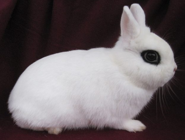 conejo enano hotot características