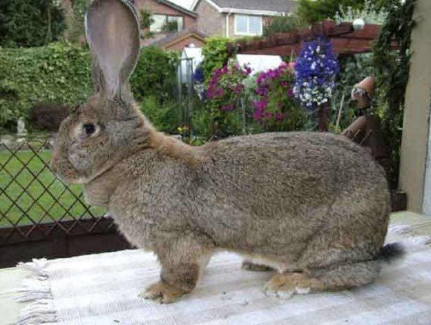 conejo-gigante-continental