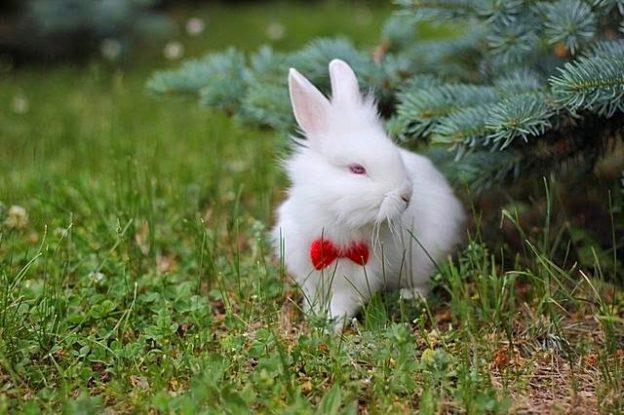 conejo toy o enano