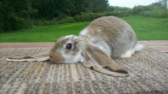 conejo orejas caidas