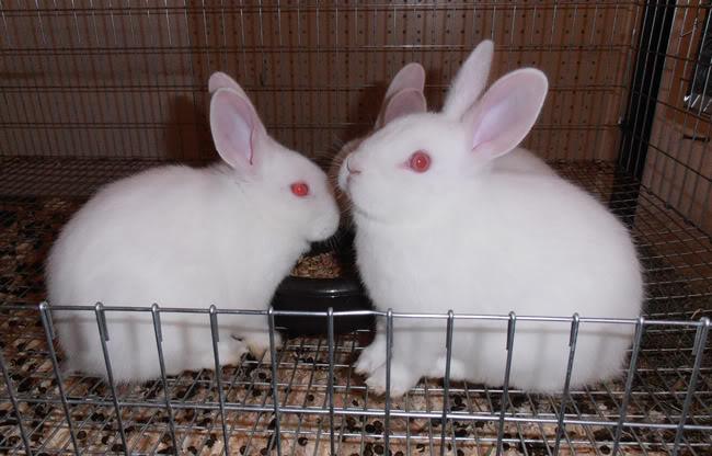 conejo de florida blanco