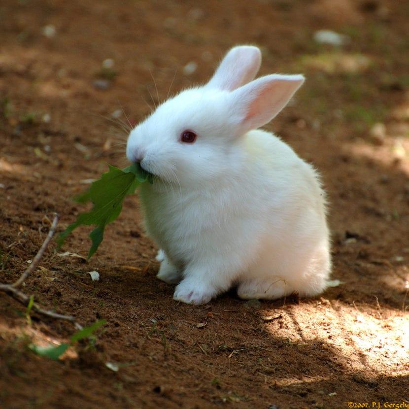 conejito blanco de florida
