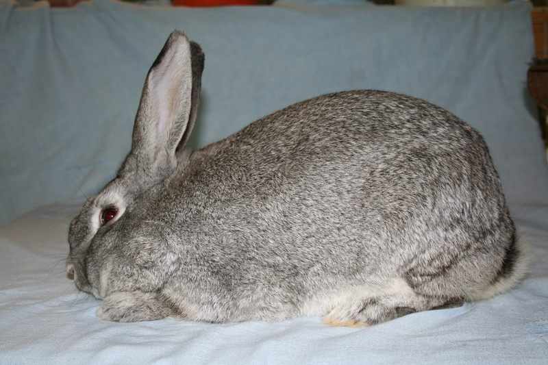 conejo gigante gris