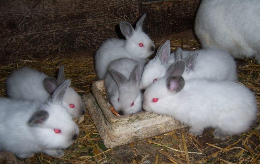 cria de conejo blancos