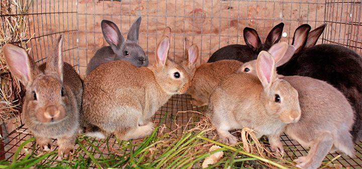 conejo de nueva zelnada
