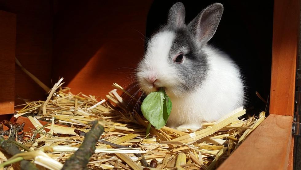 conejo enano comiendo