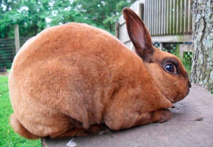 conejo marron