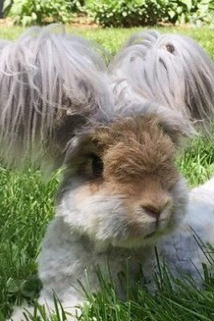 WALLY CONEJO ANGORA