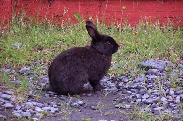 Conejo Negro peludo