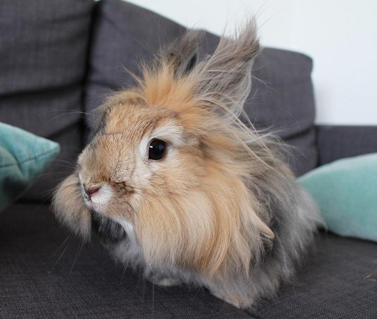conejo con un gran pelo negro
