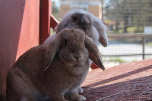 Tiña En Conejos