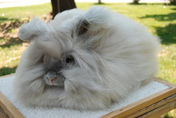 Conejos De Pelo Largo