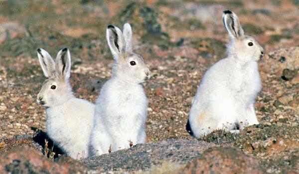 Conejos silvestres