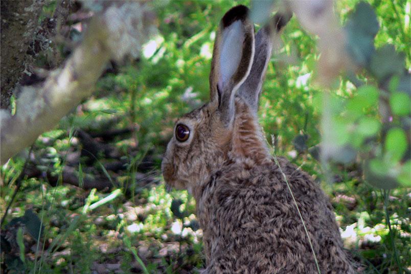 El conejo silvestre es el más afectado