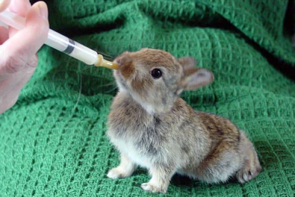 Razas de conejos pequeños