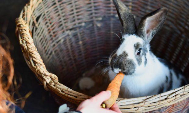 Remedios caseros para la diarrea en conejos