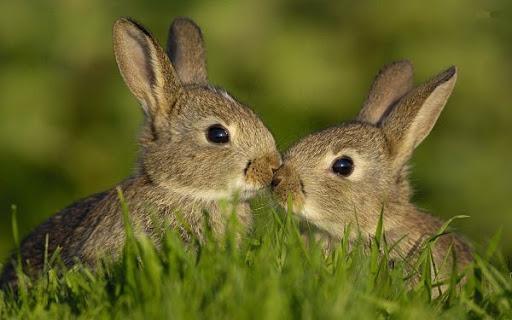 Comunicación entre conejos