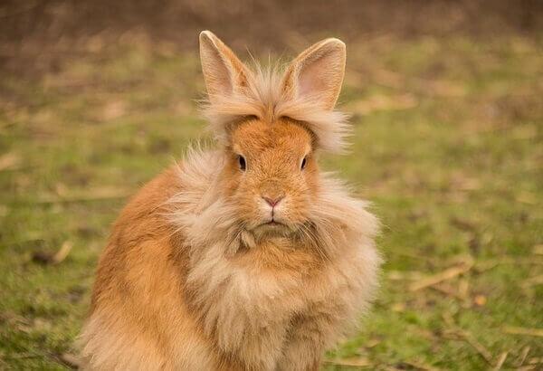 Pelo en conejos sanos