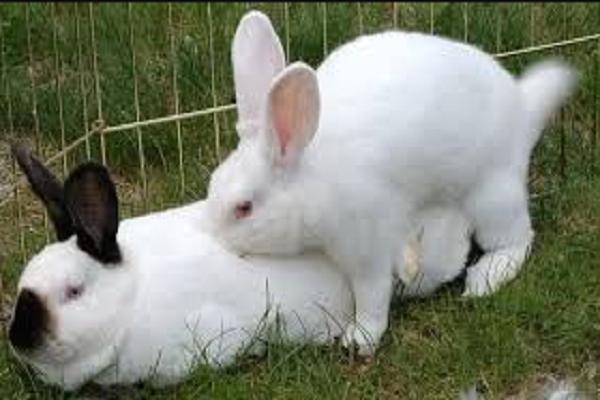 A que edad se aparean los conejos
