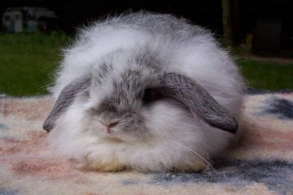 Conejos pequeños peludos