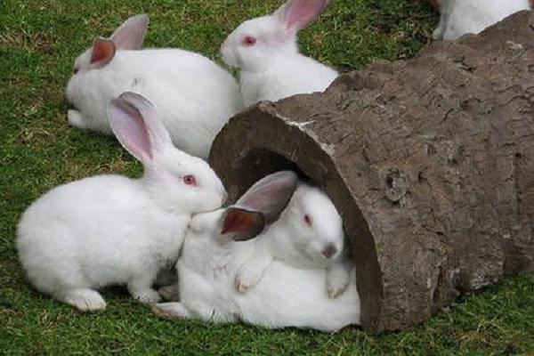 Conejo común hyplus