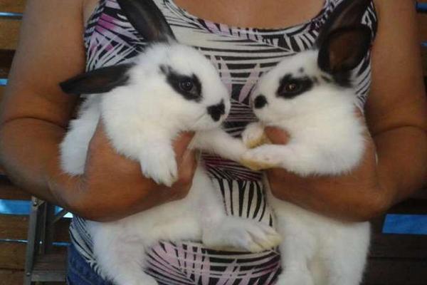 Neozelandeses mascotas adorables