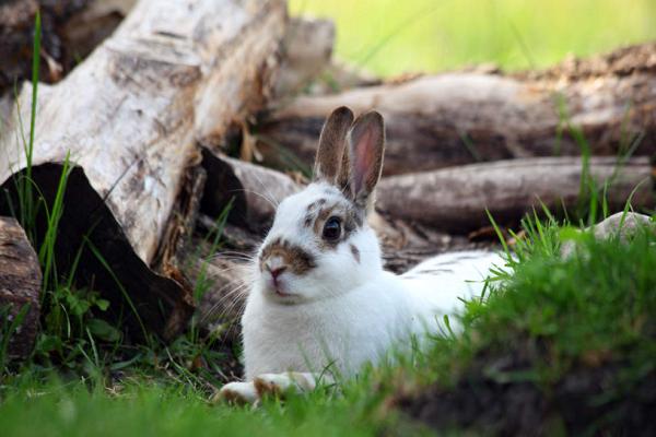 Conejos neozelandeses