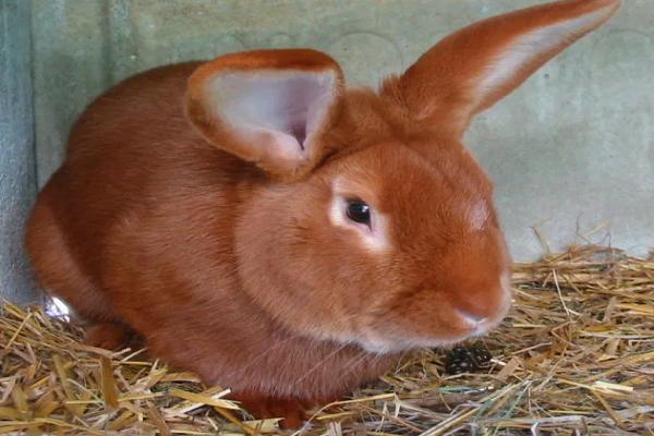 Conejo de buena raza