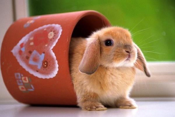 Cuantos años duran los conejos