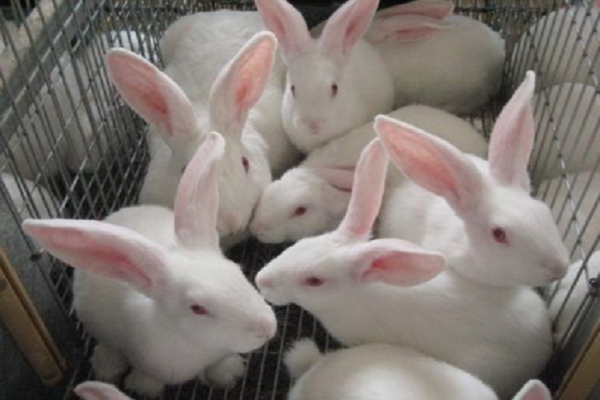 Cruzamiento de conejos