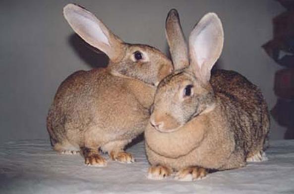 Conejos de gran tamaño
