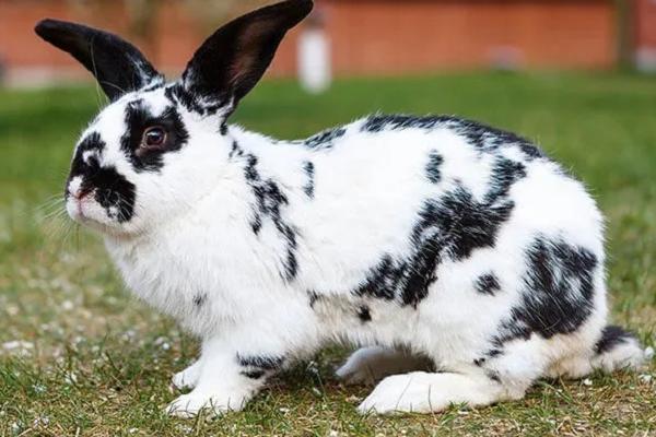 Razas de conejos más populares