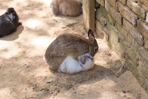 Apareamiento entre conejos