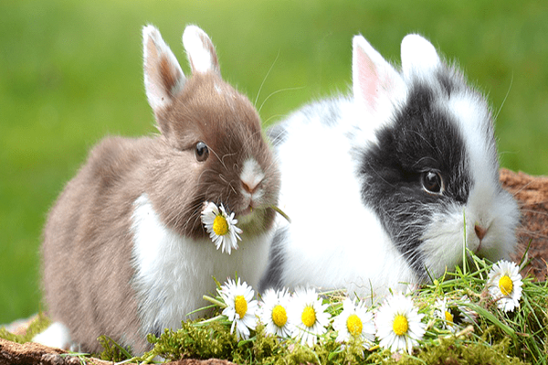 Conejo enano adulto