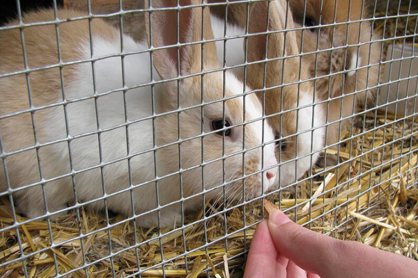 ¿Cómo criar a un conejo?