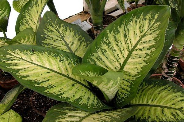 Plantas de adorno toxica