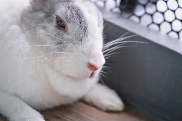 Alimentación de un conejo anciano