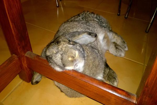 Como saber si mi conejo esta viejo