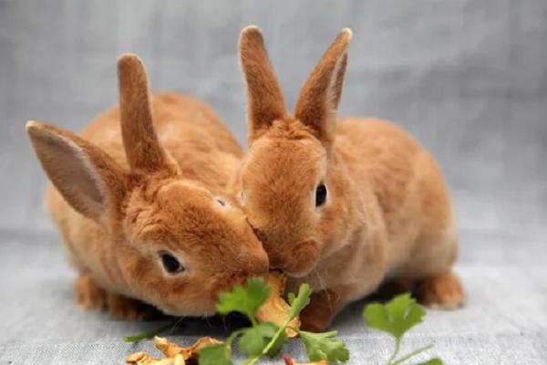 Signos de estrés en conejos