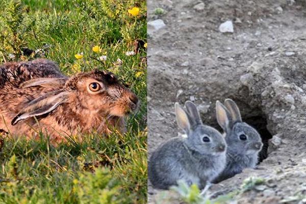 Liebre y conejo