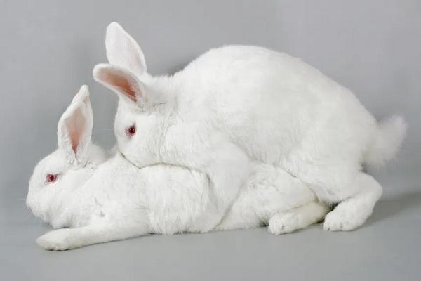 Cortejo en los conejos