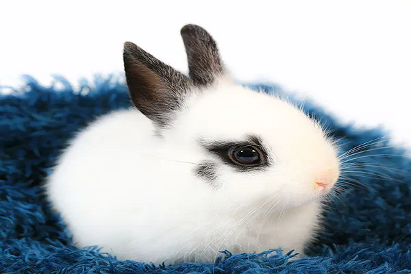 Vida de un conejo enano