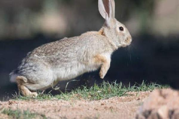 ¿Por qué está en peligro de extincion el conejo?