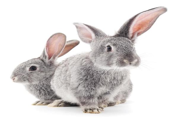 Subreino del conejo