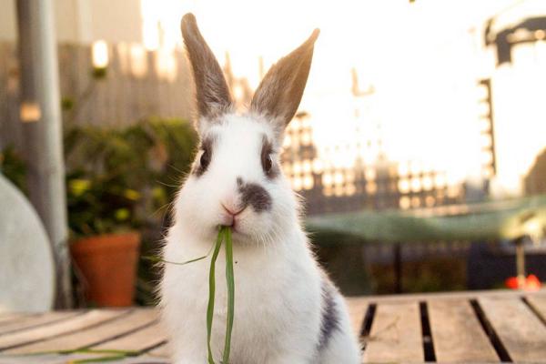 Conejos sanos